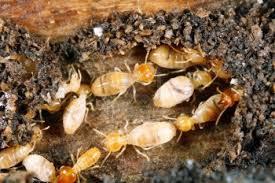 شركة مكافحة النمل الابيض بأبها
